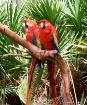 A Par Of Parrots