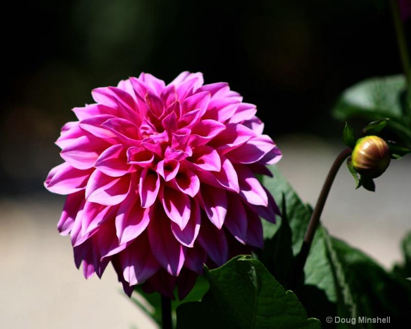 Pink Lady - ID: 8409712 © Douglas R. Minshell