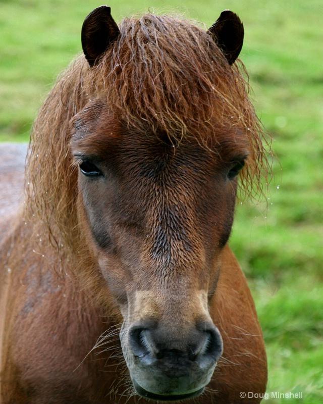 Faroe Island Pony - ID: 8409720 © Douglas R. Minshell