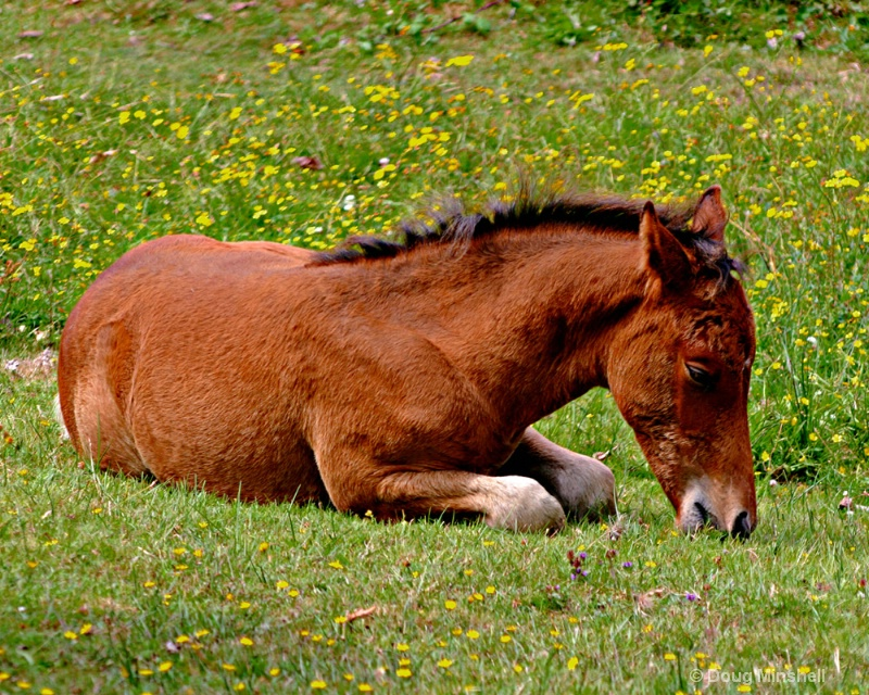 New Forest Foal - ID: 8409723 © Douglas R. Minshell