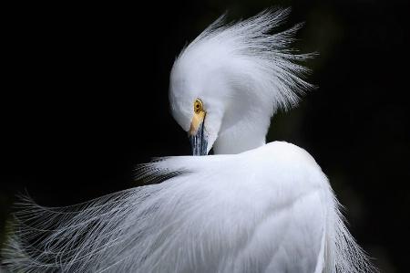 Magnificent Snowy Egret