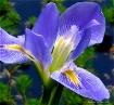 """""""Blue Iris..."""