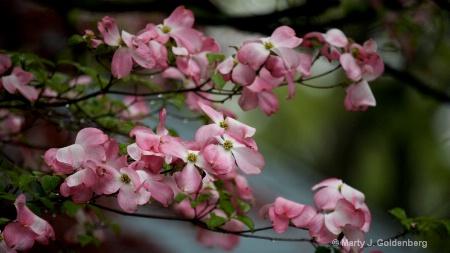 pink doogwood in bloom