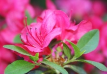Trumpeting Rhododendron