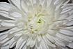 White Chrysanthem...