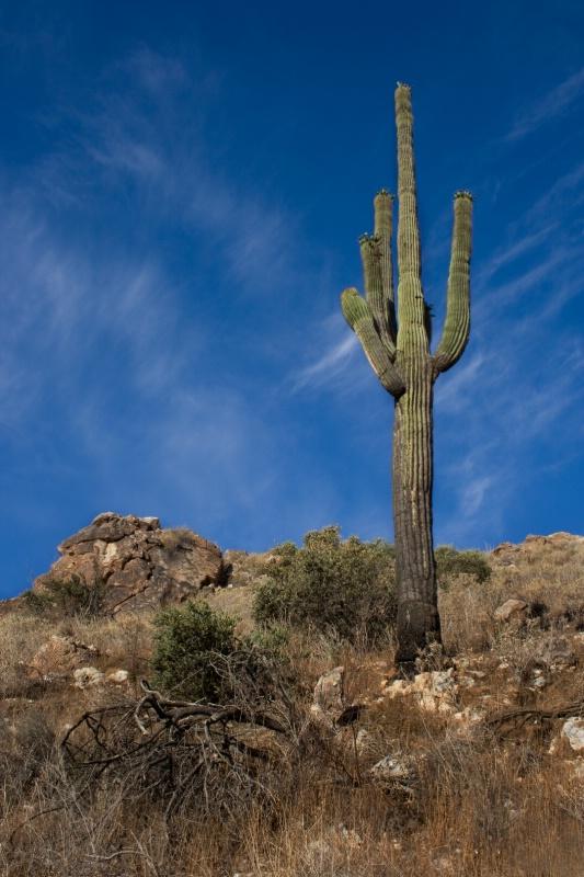 Survivor Saguaro - ID: 8418567 © Patricia A. Casey