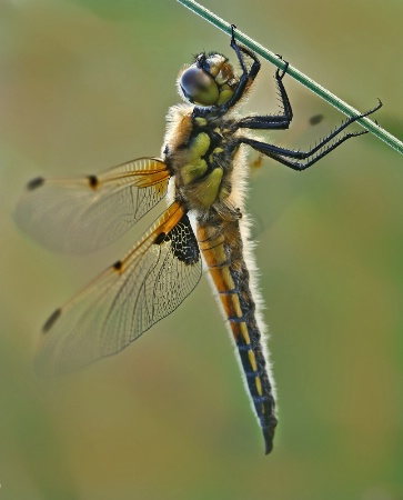 Dragonfly in the Evening
