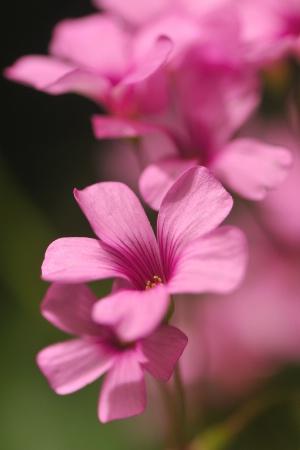 Pink Cloud of Flowers
