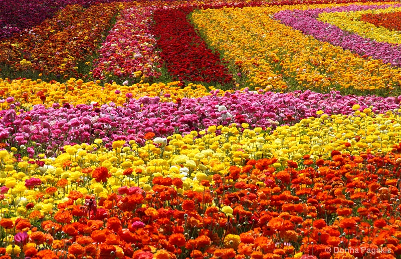 Blooming Rows of Color