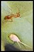 Cactus Ant