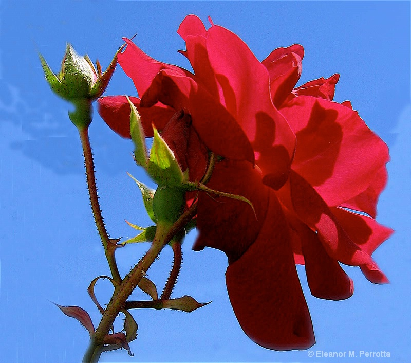 """""""A Red Rose"""""""
