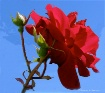 """""""A Red Rose&#..."""