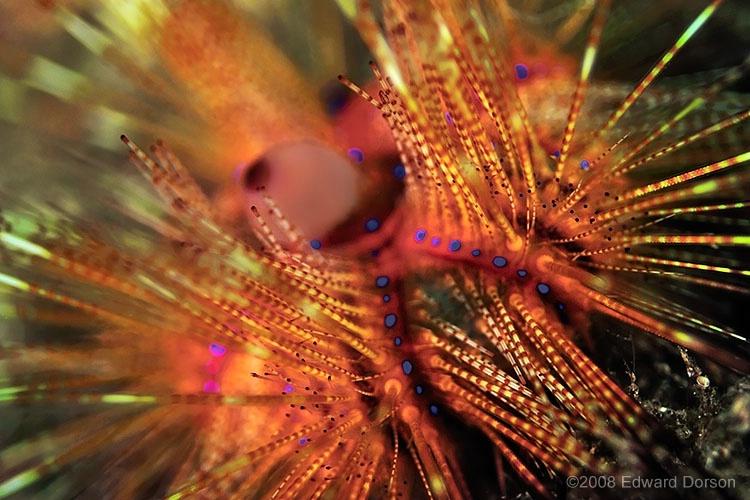 Magnificent Urchin - ID: 8449041 © Edward Dorson