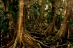 Pterocarpus Fores...