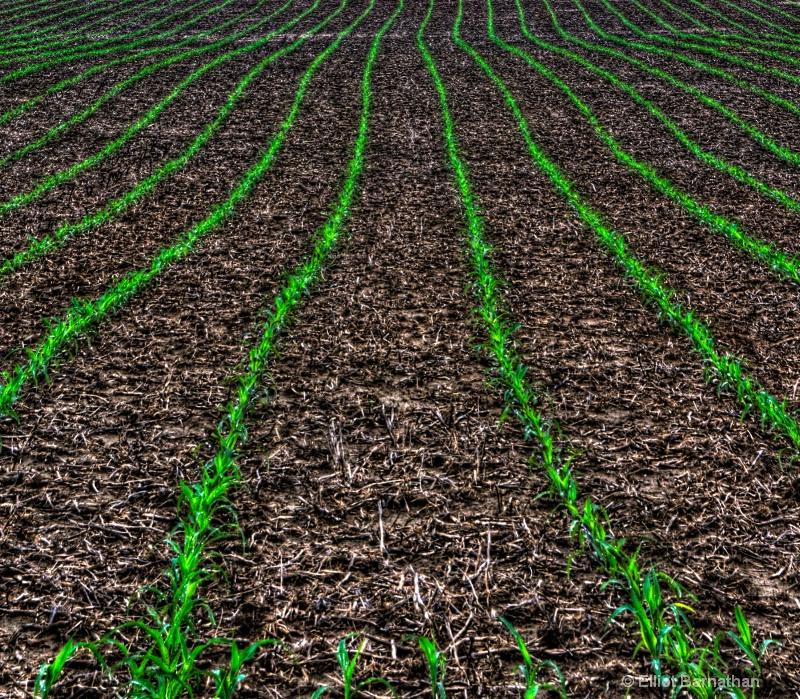 Corn Rows - ID: 8475404 © Elliot S. Barnathan