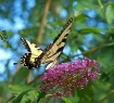 Swallowtail In Th...