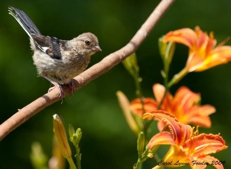 Sparrow- Out on a Limb