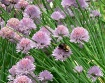 Bee and Chives