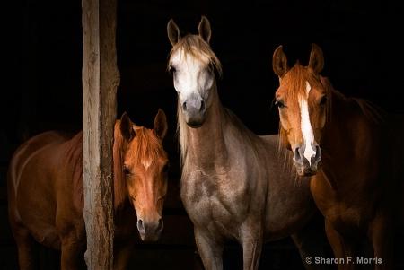 Three Arabians