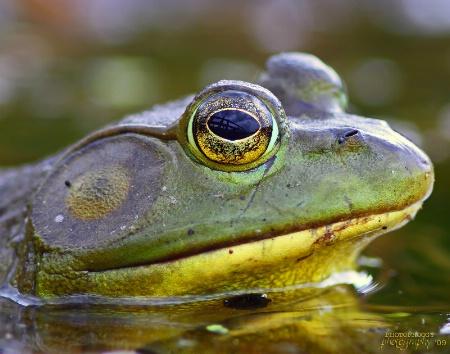 Rana catesbeiana (Bull frog)