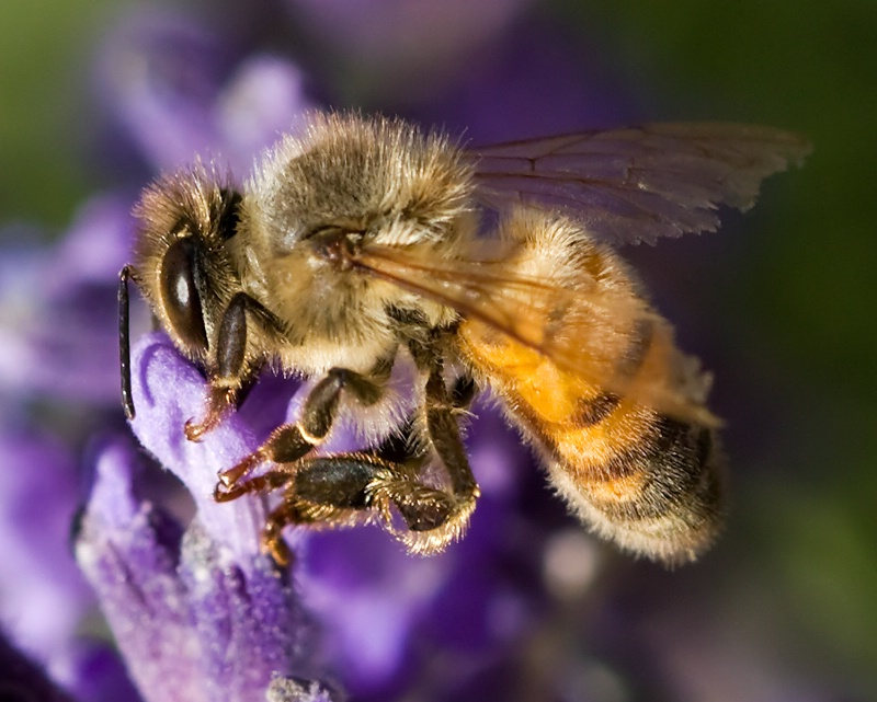 Workin Hard for the Honey - ID: 8518220 © Michael Kelly