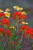 Indian Paintbrush...