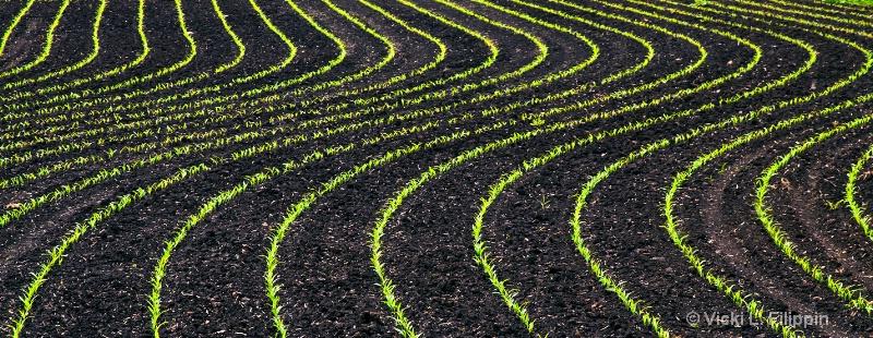 Corn...Rows???