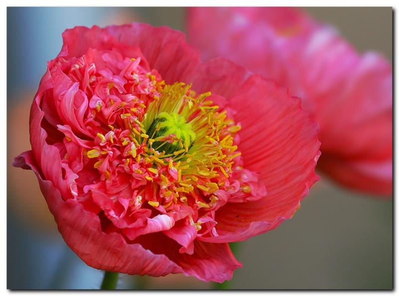 Yet again - a Poppy
