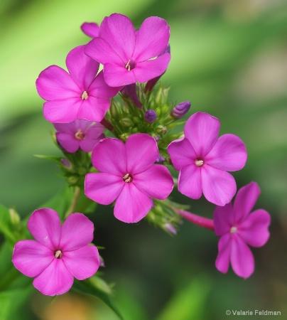 Perky Pink