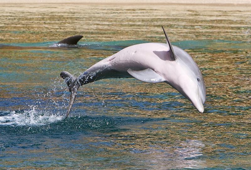 Flying Fish - ID: 8539730 © Jeff Robinson