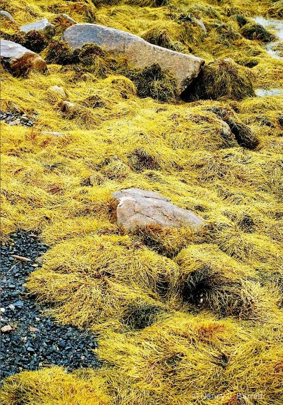 Seaweed at Blue Rocks