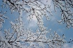 Snow Branches and...