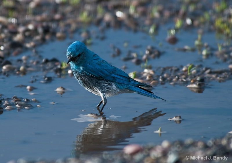 Blue Bird reflection