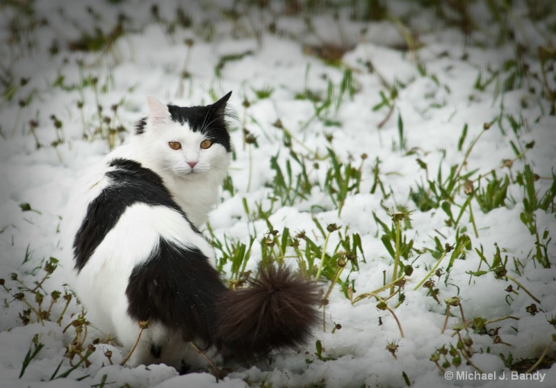 Domino the cat in the snow