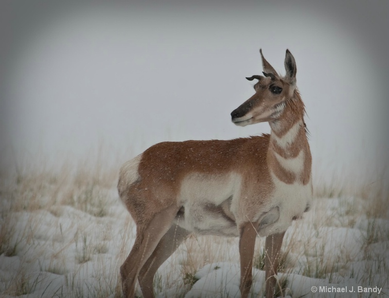 Pronghorn Antelope in the snow