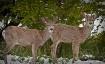 Curious Deer in t...