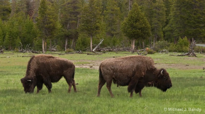 Bison in Yellowstone (a classic)