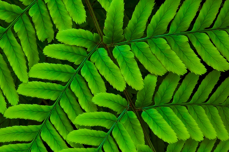 Fern Fronds - ID: 8564689 © Jim Kinnunen
