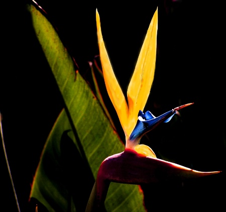 Bird of Paradise, Cape Town, S.Africa