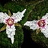 2Painted Trilliums - ID: 8568417 © Eric Highfield
