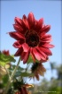 Red sunfolwer