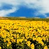 © Thomas C. Geyer PhotoID # 8570061: Sunflower Field