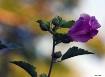 Rose   of    Shar...