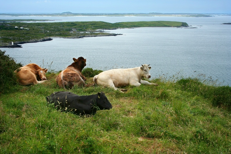 Cows on the edge