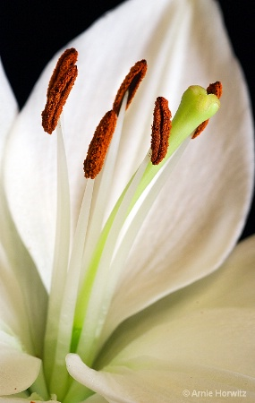 From the Heart of the White Lily