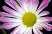 Velvet Bloom #2