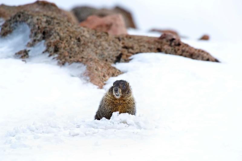 marmot at mt evans - ID: 8601463 © Annie Katz