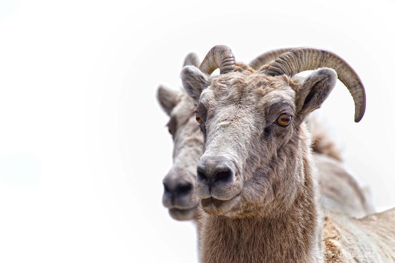 twin bighorn sheep - ID: 8601530 © Annie Katz