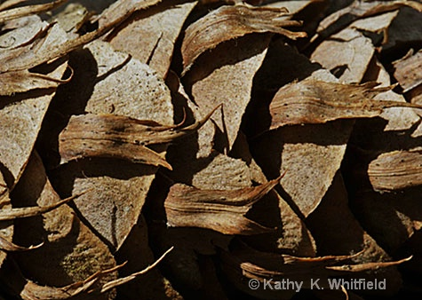 Pinecone - ID: 8607580 © Kathy K. Whitfield