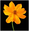 Perky Blossum